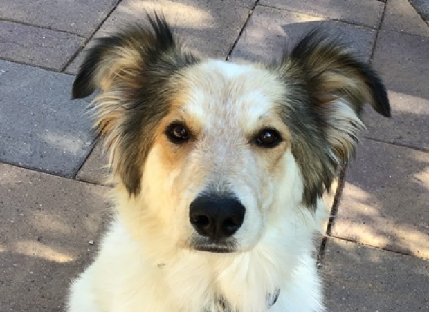 Penny (Great Pyrenees/Aussie/Collie mix) Medium - Female