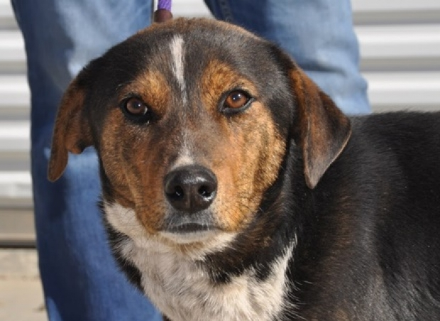 Alex (Beagle/Cattle Dog) Medium - Male